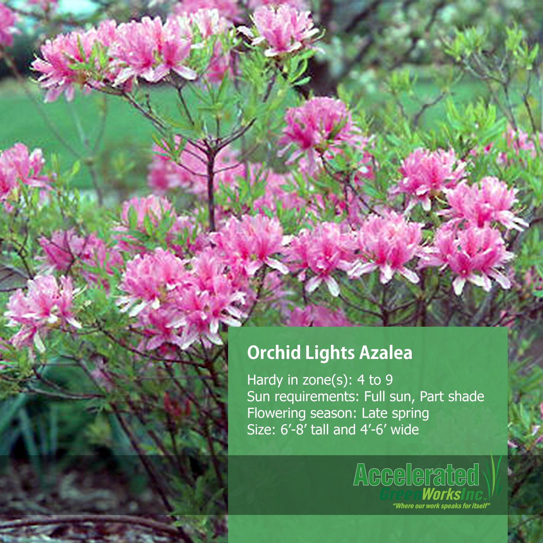 Orchid Lights Azalea Azaleas Orchids Plants