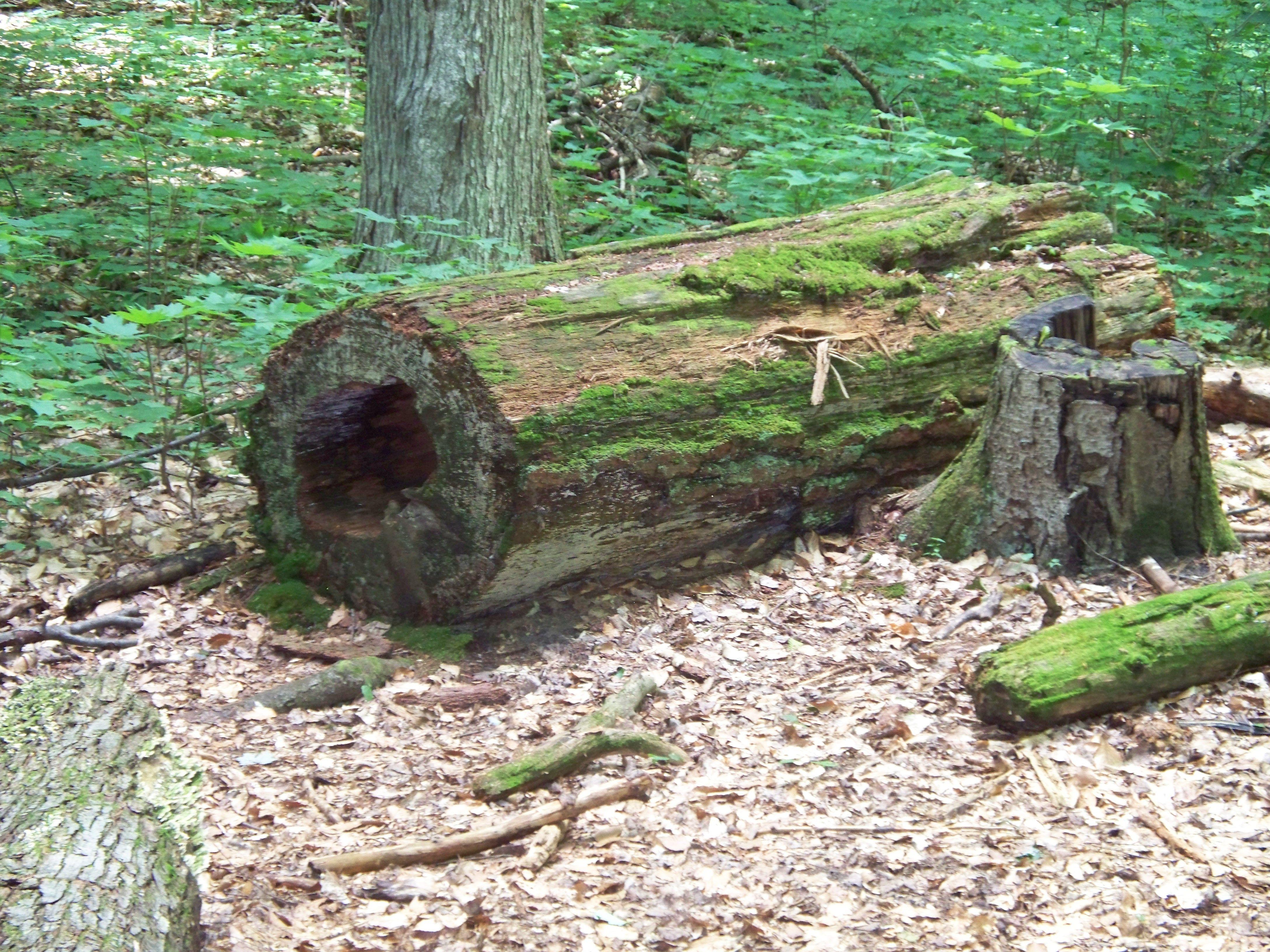 Hartwick Pines - Grayling