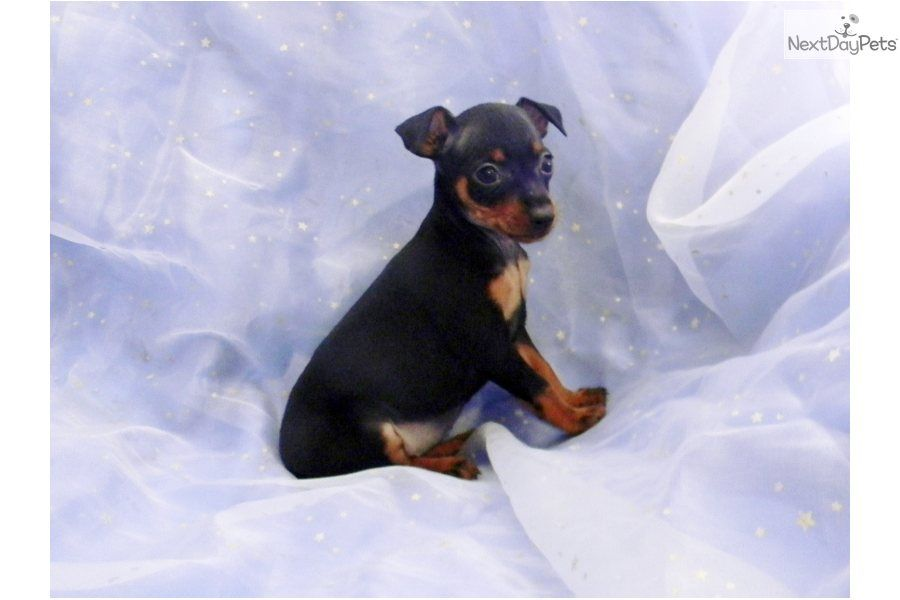 Miniature Pinscher Puppy For Sale Near Texarkana Arkansas