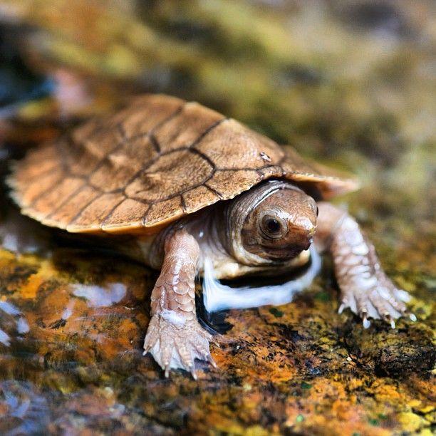 Sulawesi forest turtle, leucocephalon yuwonoi, native to Indonesia