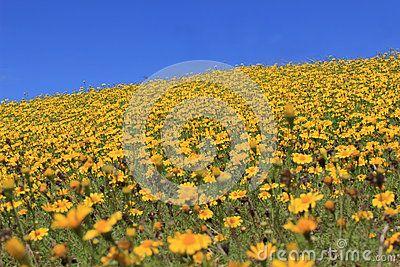 Yellow Flower Hill Stock Photo - Image: 24976980