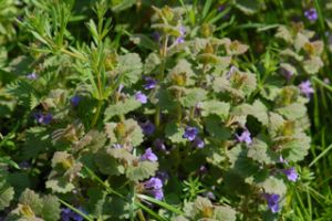 Ground Ivy tincture, for ringing ears, lungs, kidneys