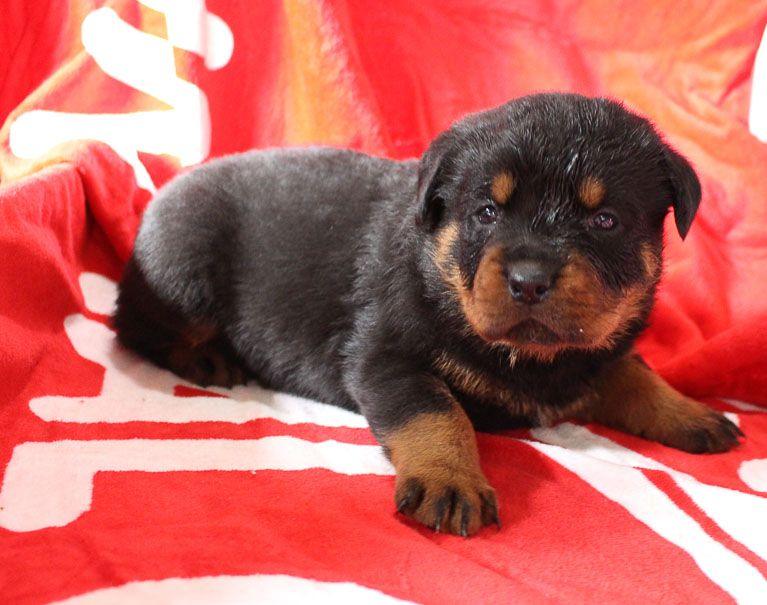 Giant Rottweiler Puppies For Sale In Mississippi
