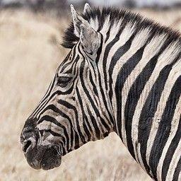 Marlike Marks | Afrika | Zebra