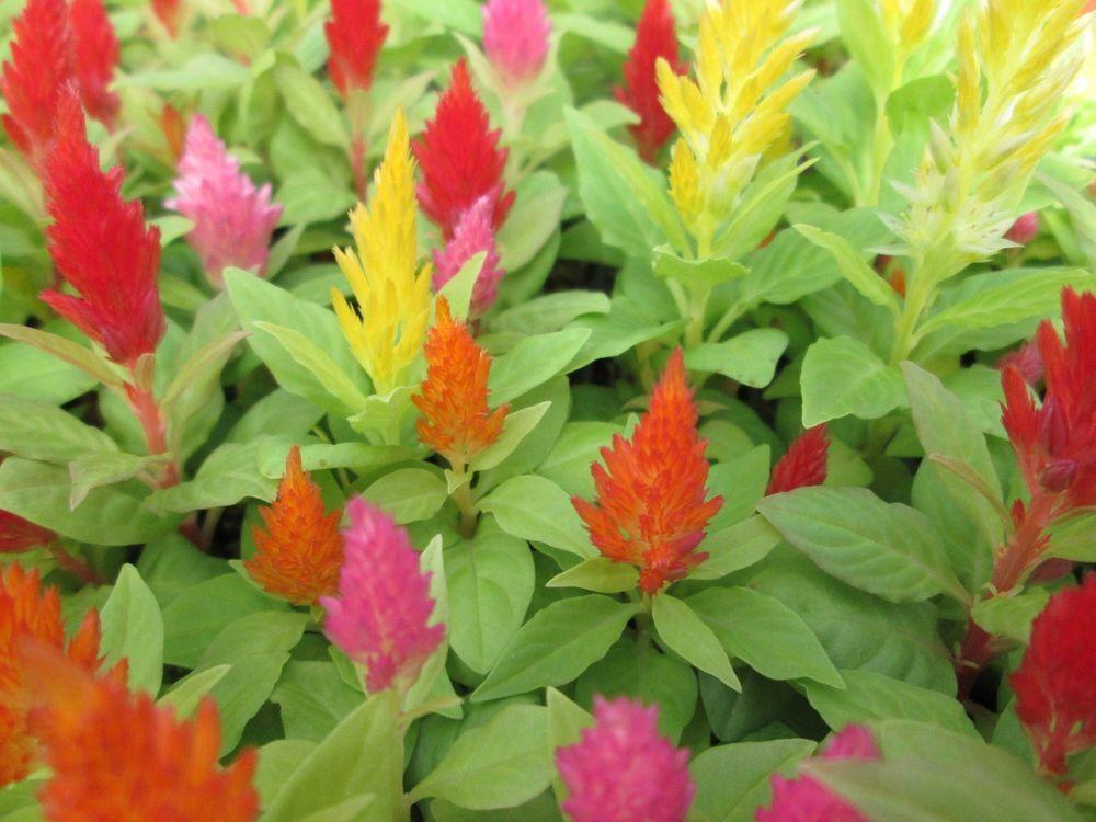 60 Celosia Castle Mix Live Plants Plugs Garden Patio Home Diy Planters 145 Celosia Diy Planters Plants Planting Flowers