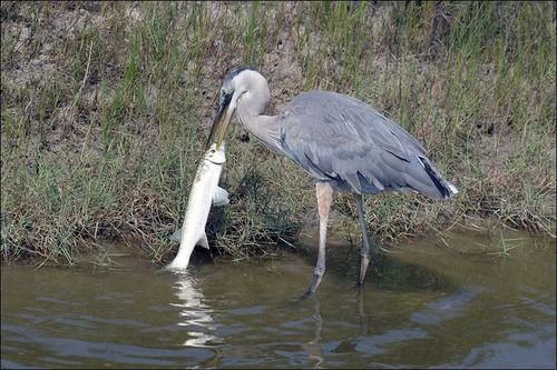The Great Blue Heron (Ardea herodias) is a wading bird common near the shores of open water and in wetlands over most of North and Central America.