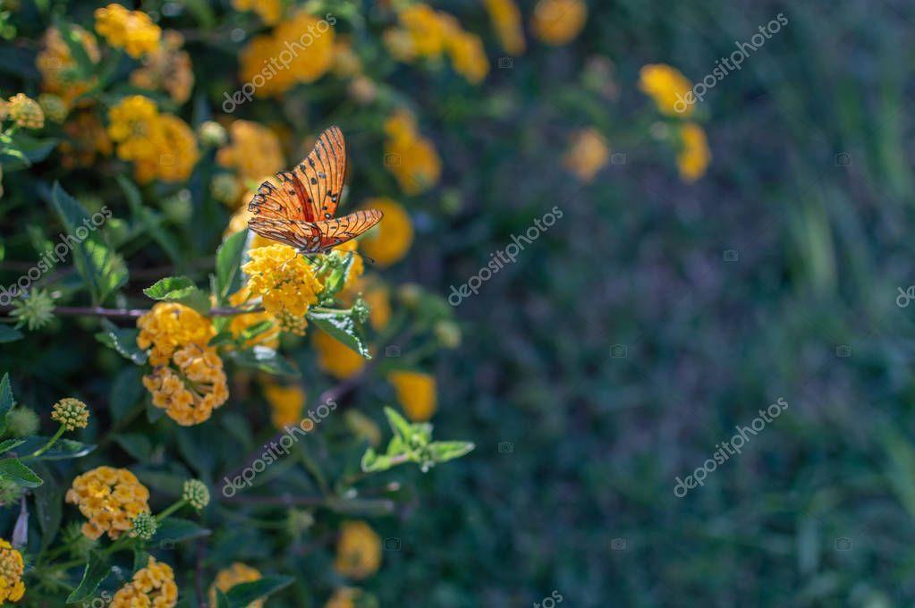 Mini Yellow Lantana With Butterfly On The Flower Stock Photo Sponsored Lantana Yellow Mini Butterfly Ad