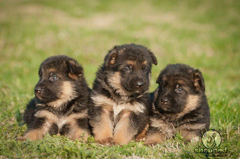 Potty Training Your Gsd Puppy Without Losing Your Mind Dog