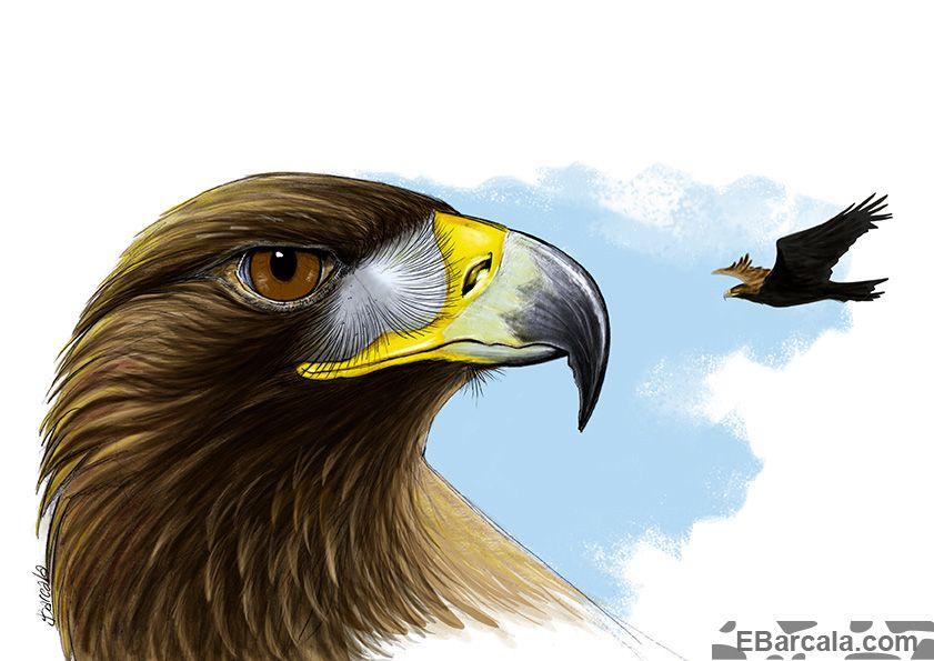 "Águila real (Aquila chrysaetos). Dibujo para el libro ""Parque Natural Baixa Limia Xurés"", de Jesús de Juana. Xunta de Galicia. 2016."