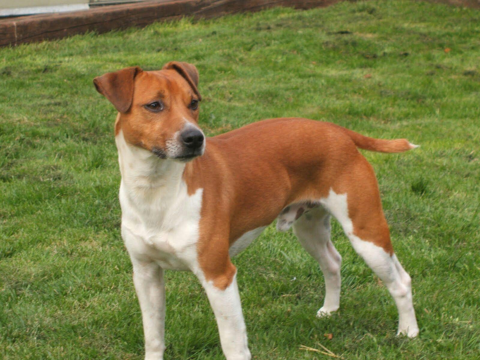 Plummer Terrier Rare Dog Breeds Terrier Unique Dog Breeds