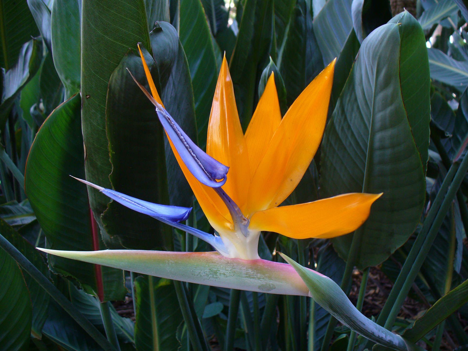 Tropical Bird Of Paradise Birds Of Paradise Plant Paradise Plant Birds Of Paradise