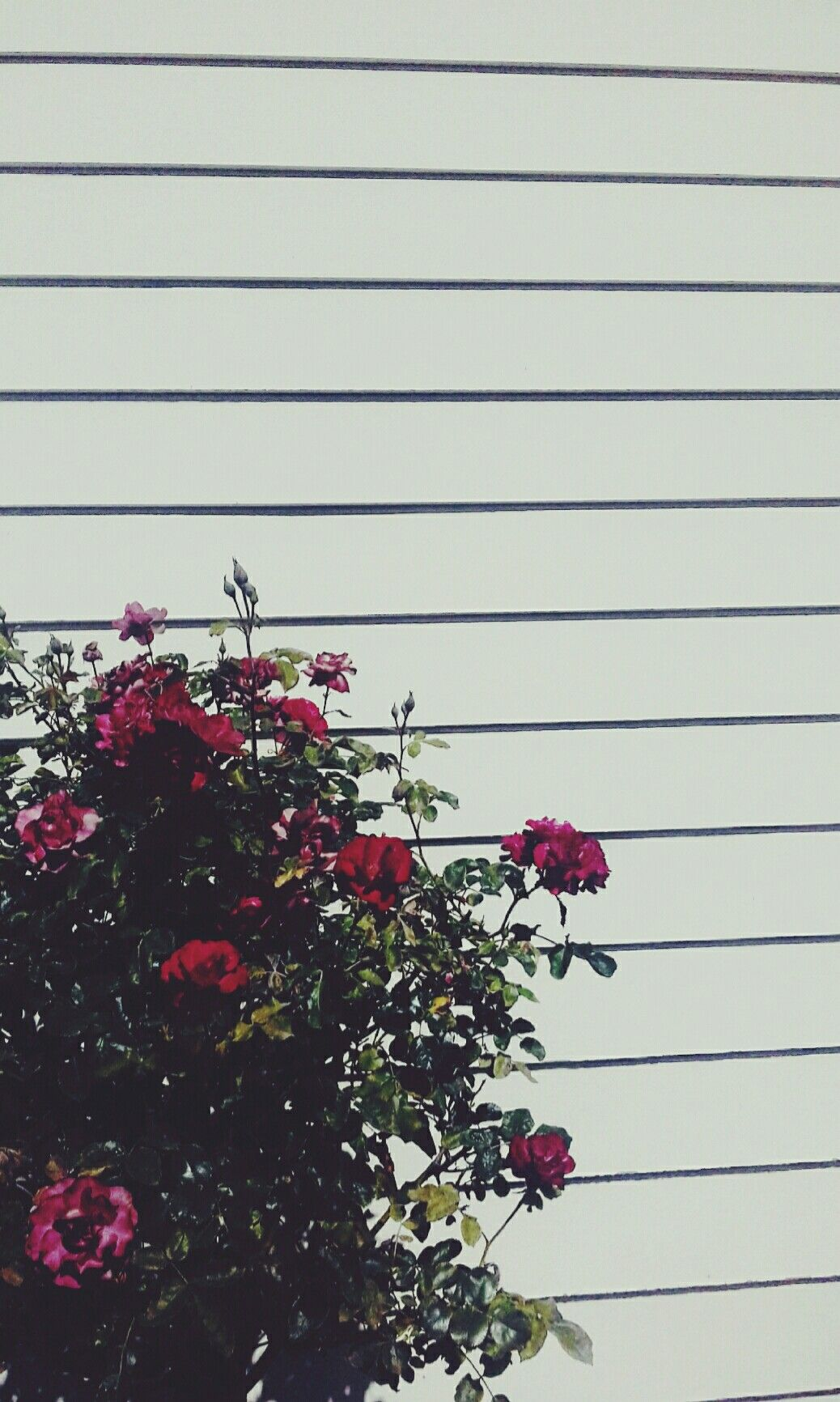 Tumblr aesthetic wallapaper roses wall grunge trendy