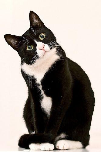 cat gato branco e preto arte animal pinterest gatos gato