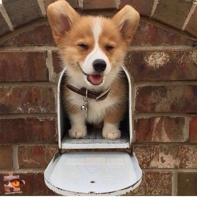 Christmas Present In The Mail Corgi Cute Animals Cute Dogs