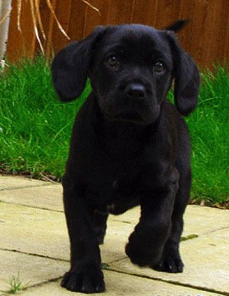 I Want This Dog Cavador King Charles Spaniel Lab Retriever Mix Perfect Size Perfect Temperament Cute Animals Hybrid Dogs I Love Dogs