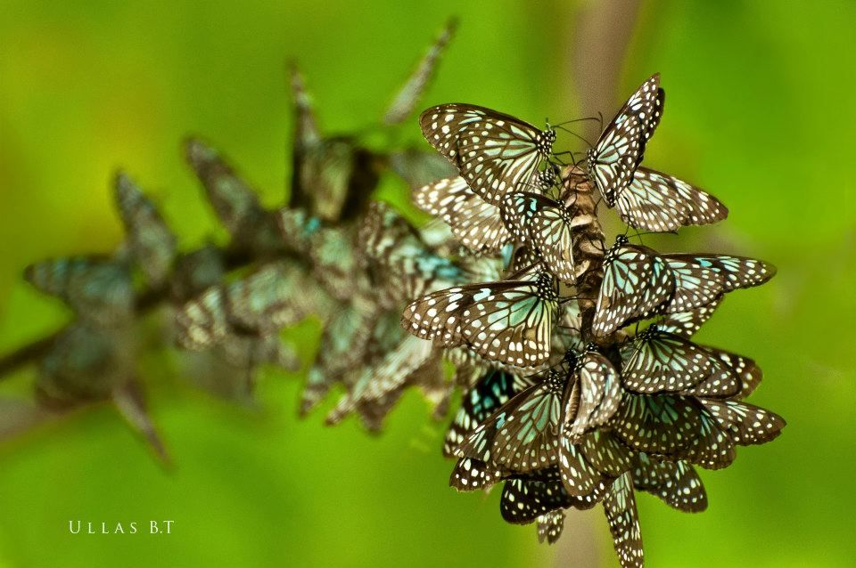 A cluster of Blue Tiger Swallowtails