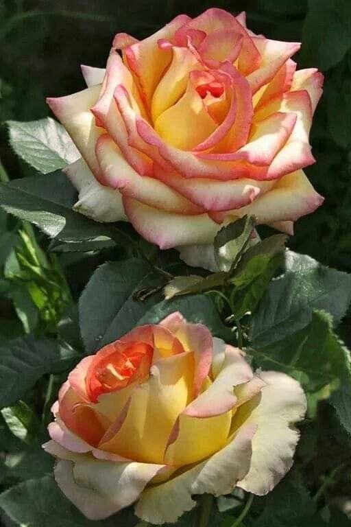 Wallpaper By Artist Unknown Hybridtearoses In 2020 Beautiful Rose Flowers Hybrid Tea Roses Rose Flower