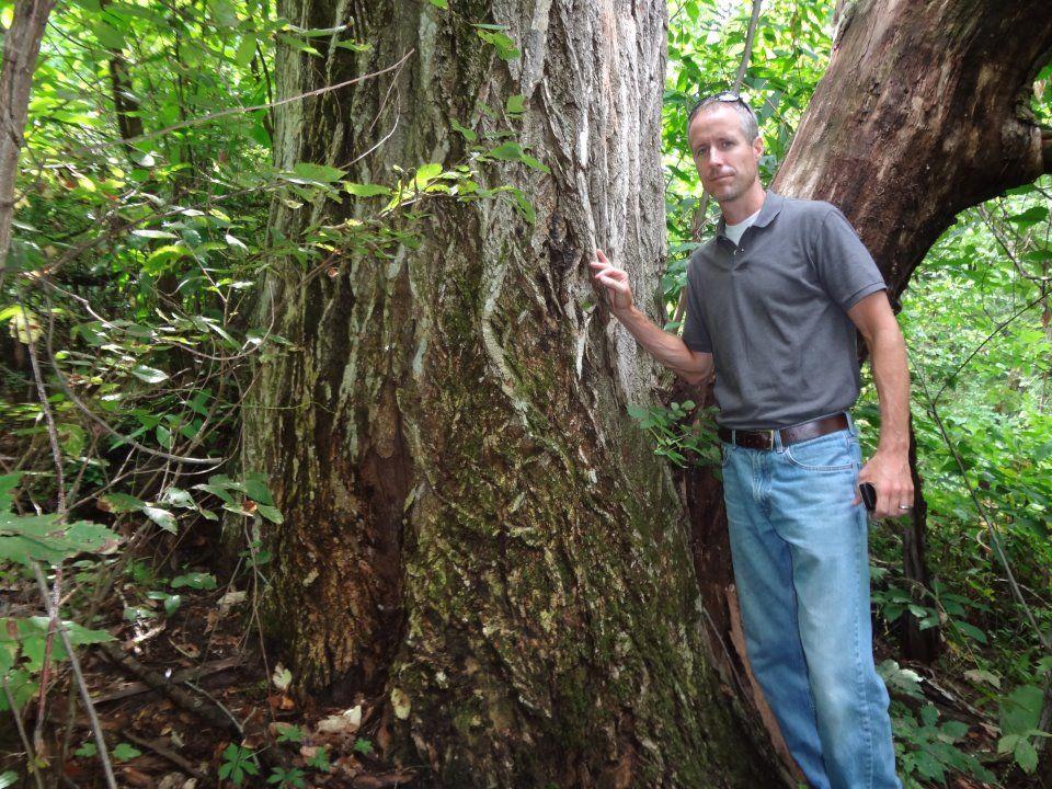 Large American Chestnut Tree Near West Salem Wi Trees