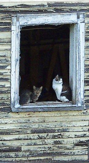 Cats In Barn Window