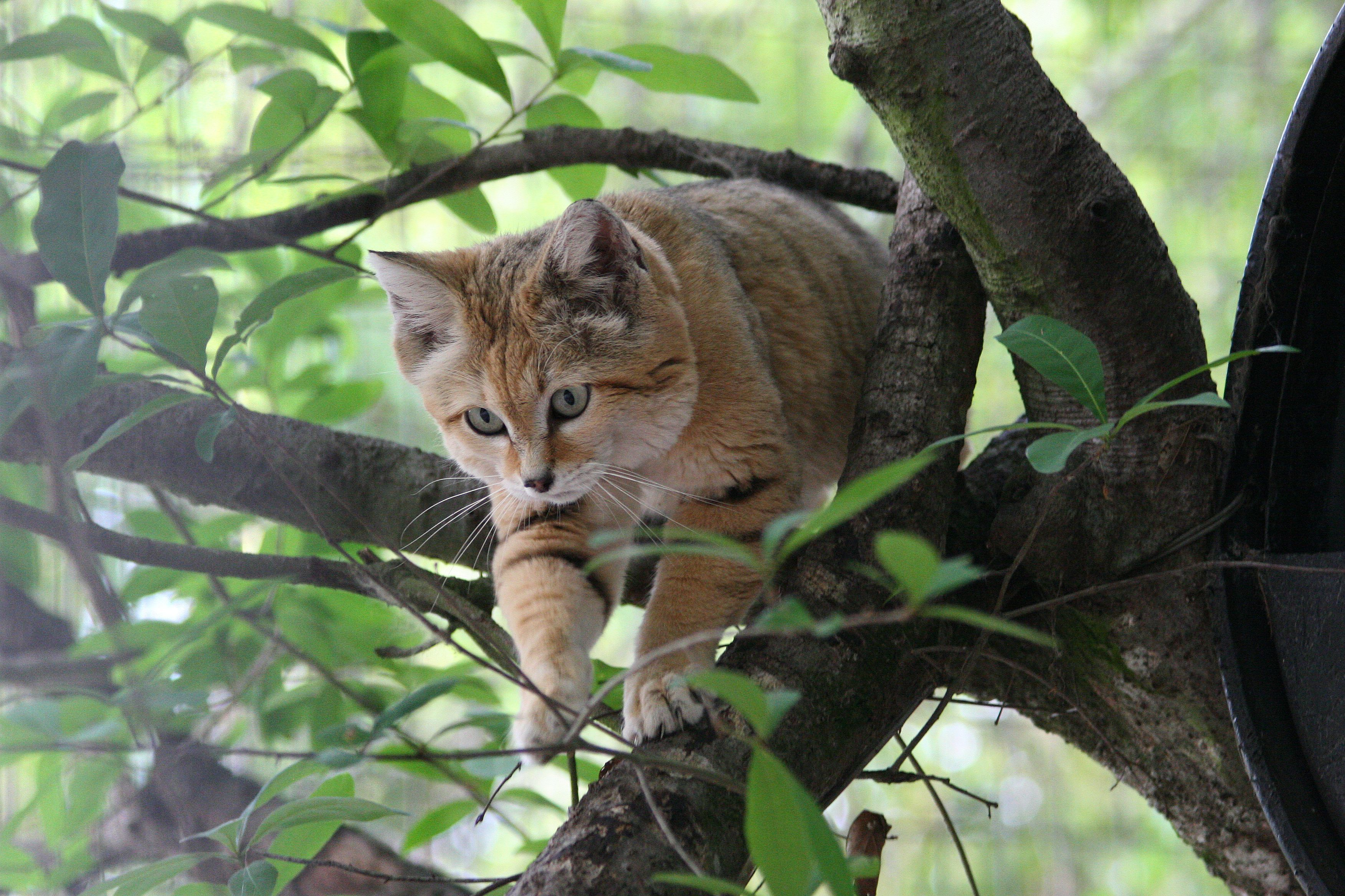 Sand Cat Big Cat Rescue Tampa Florida Sand Cat Wild Cat Species Big Cat Rescue