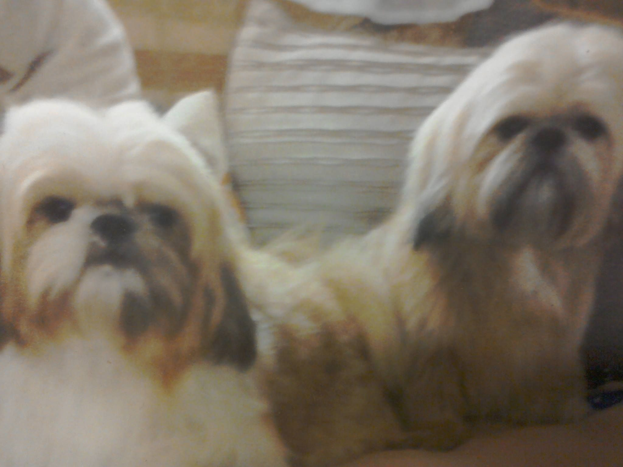 Two Shih Tzu S Missing In Mickletown Methley Leeds With Images Shih Tzus Shih Tzu Dogs