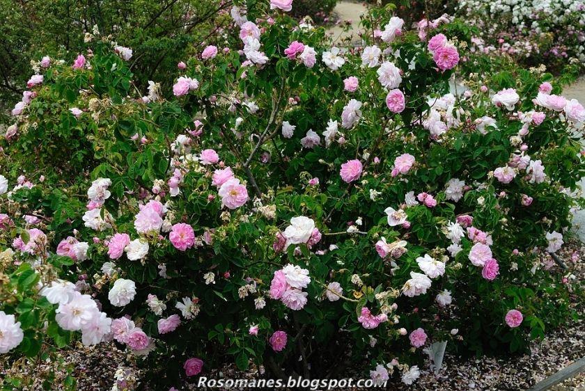 A Rose Is A Rose Damask Roses Damask Rose Rose Damask