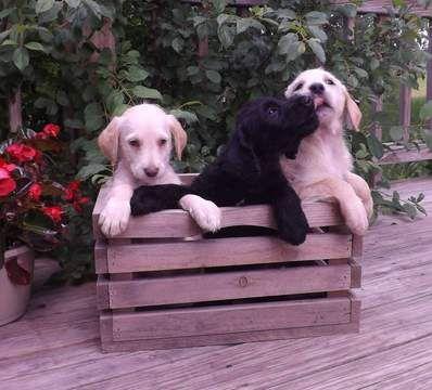 Labradoodle Puppy For Sale In Holly Mi Adn 34226 On Puppyfinder