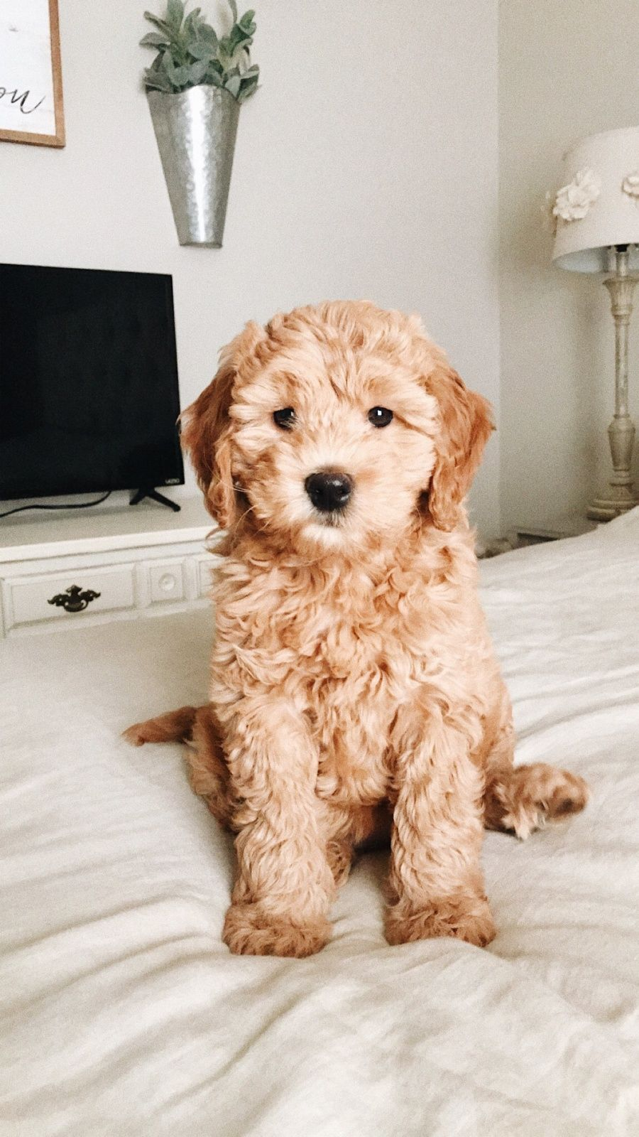 Vsco Millie Theminidoodle Sheasparks Cute Baby Animals