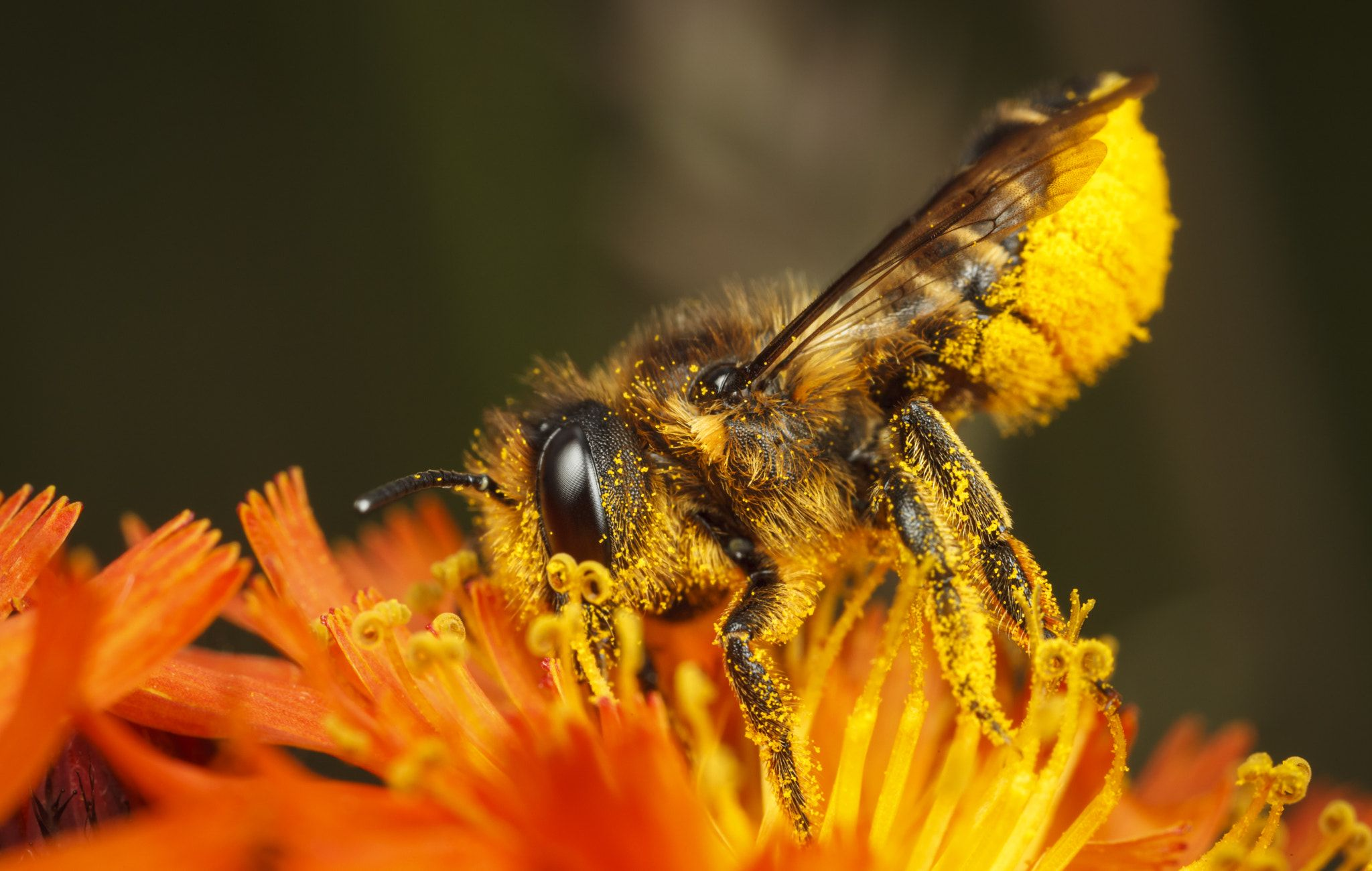 Mega Bee LeafCutter Bee, Megachile centuncularis Bee