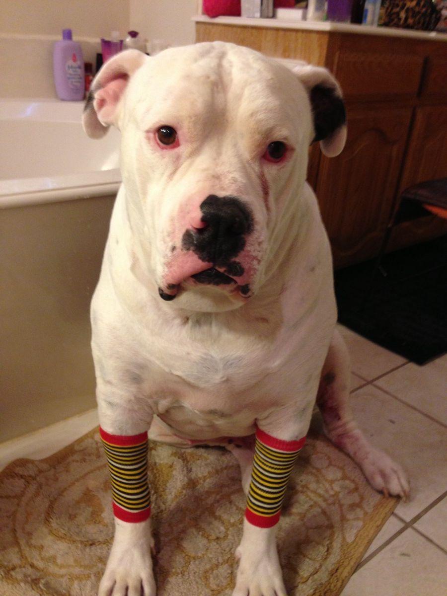 American Bulldog Wearing Dog Leg Warmers Although Boomer Doesn T