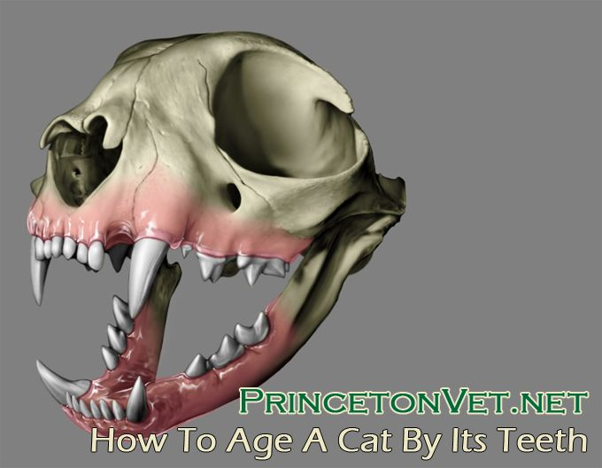 How to Age a Cat By Its Teeth Pet dental health, Cat