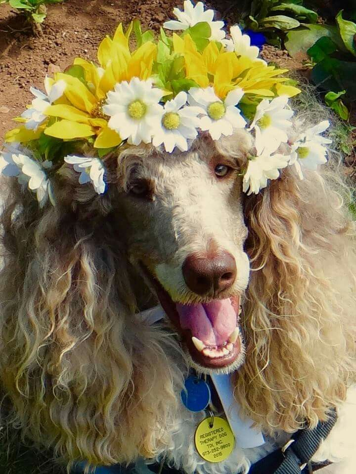 I Love Poodles Poodle Dogs Cute Dogs