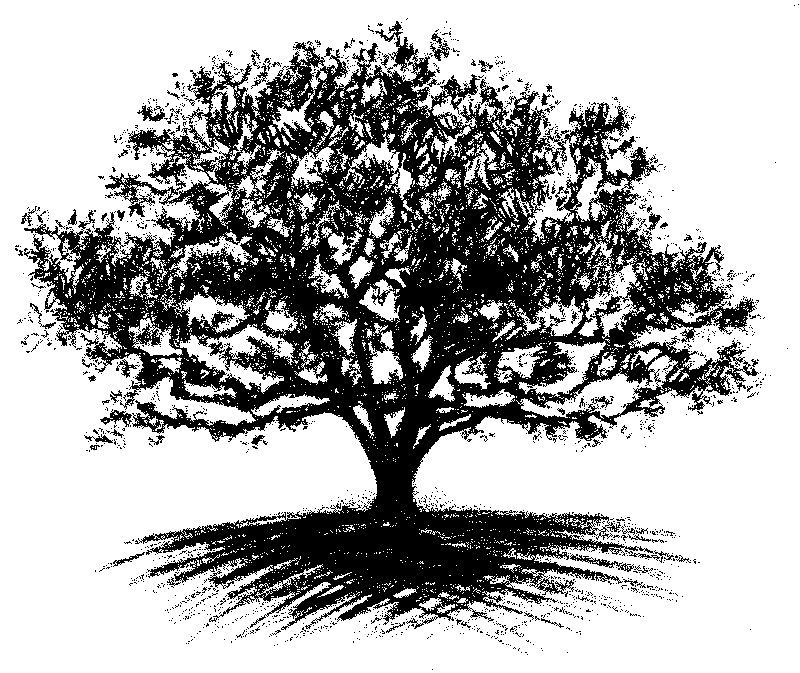 Acorn Tree Drawing Showing Gallery For Acorn Tree