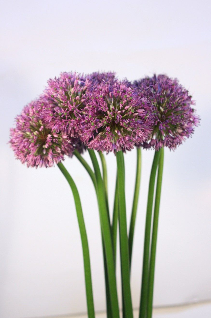 Home With Images Allium Flowers Plants