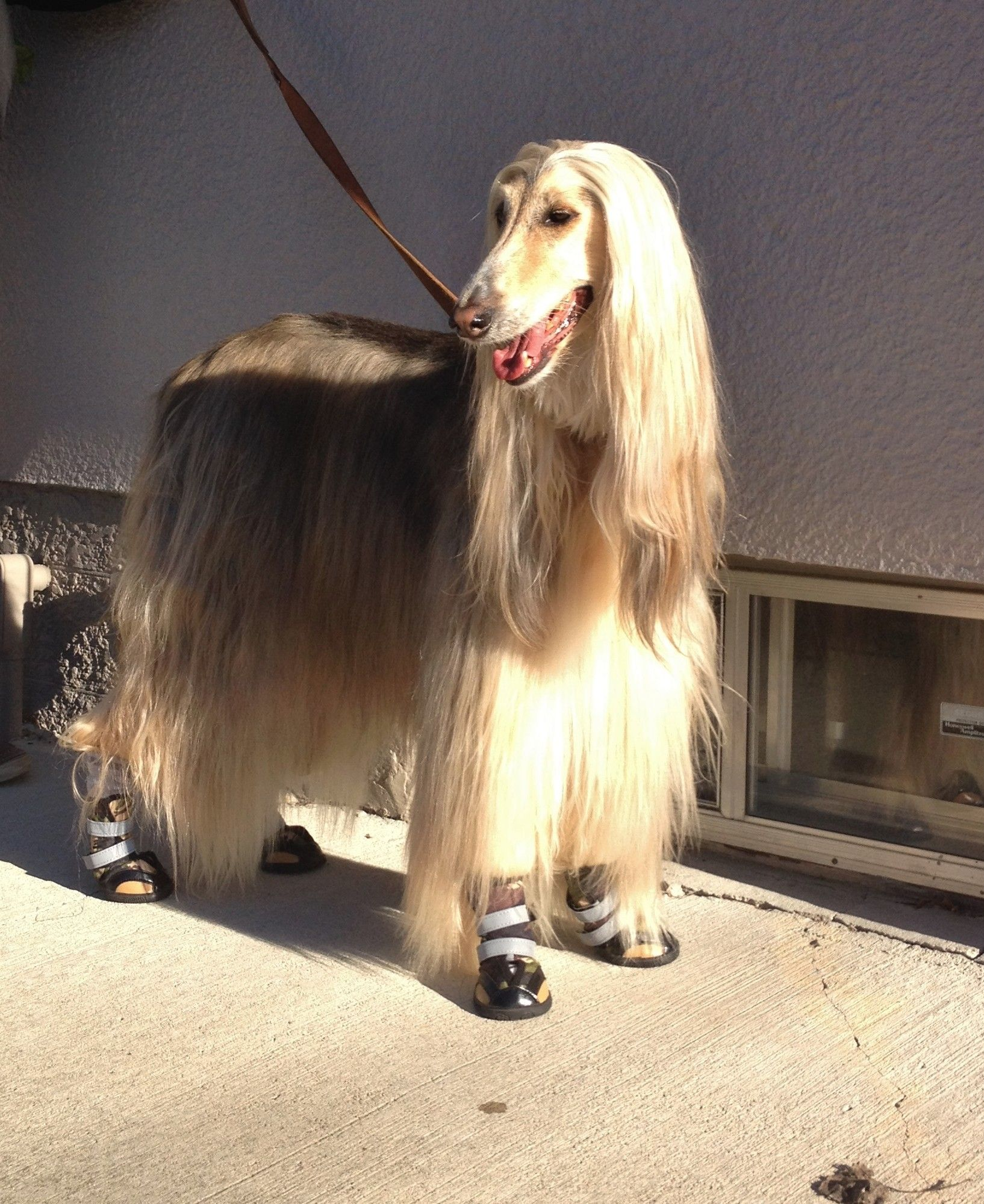 Afghan Hound In Boots Afghan Hound Dogs Hound Dog