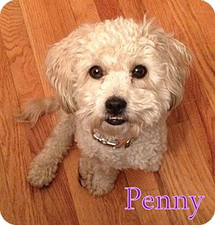 New Jersey Nj Poodle Miniature Pekingese Mix Meet N Pittsburg Pa Penny A Dog For Adoption Http Bull Terrier Rescue Dog Adoption Cute Dogs And Puppies