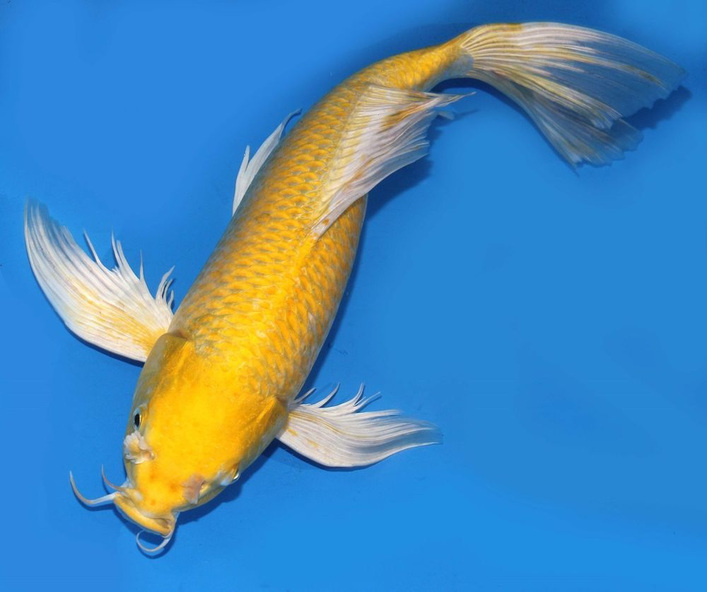 Live koi fish 16 yellow yamabuki ogon butterfly long fin for Butterfly koi fish aquarium