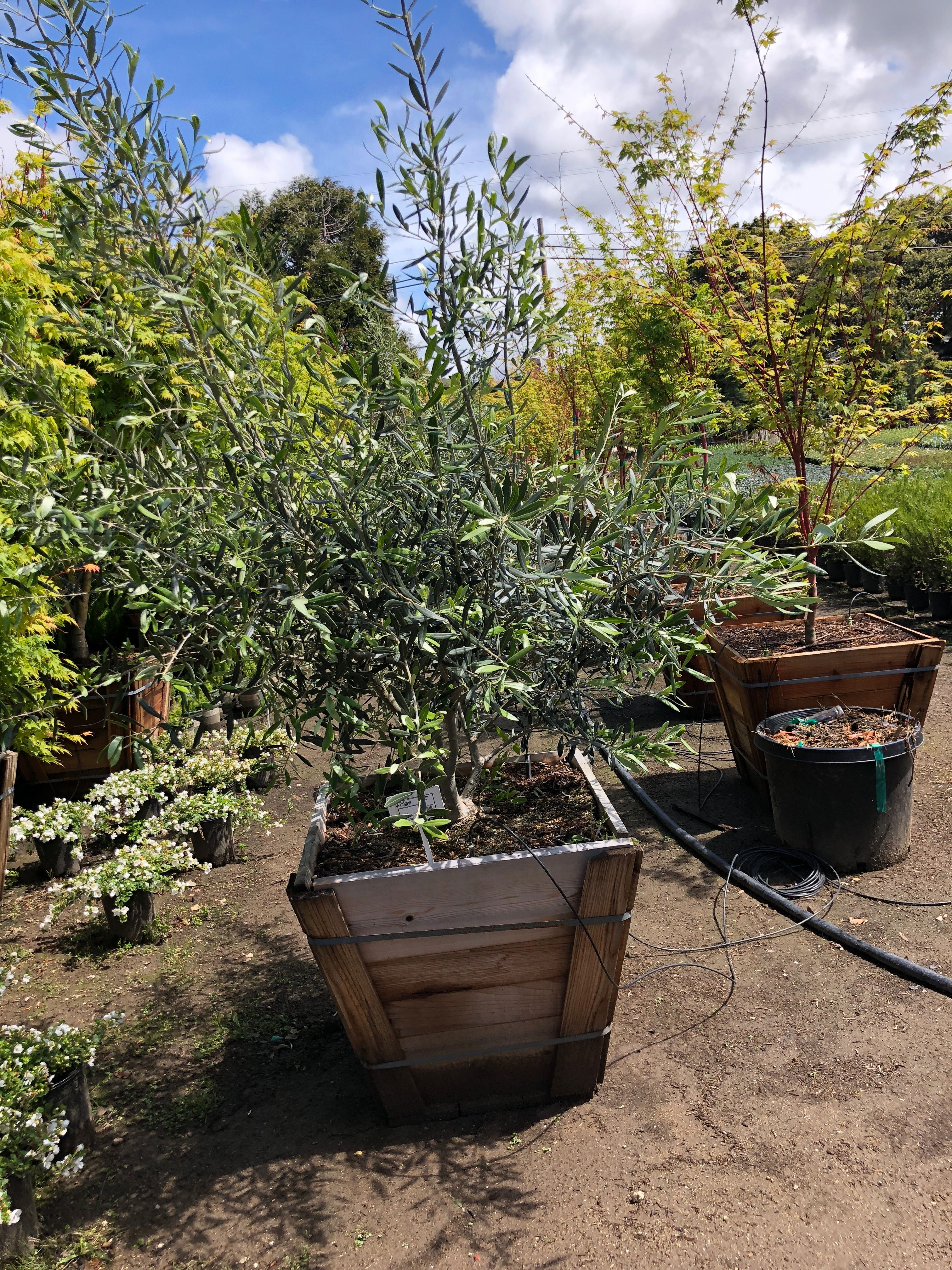 24 Sq Container By 5ft High Multi Trunk Fruitless Olive Tree Griggs Nursery The Lower Limbs Can Be Pruned To Expose
