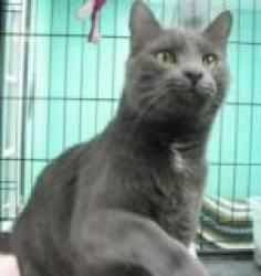 Vincent Grey Is An Adoptable Russian Blue Cat In Richmond Va Aarf Arc Cats Will Only Be Adopted Out In The Richmon Russian Blue Russian Blue Cat Furry Friend