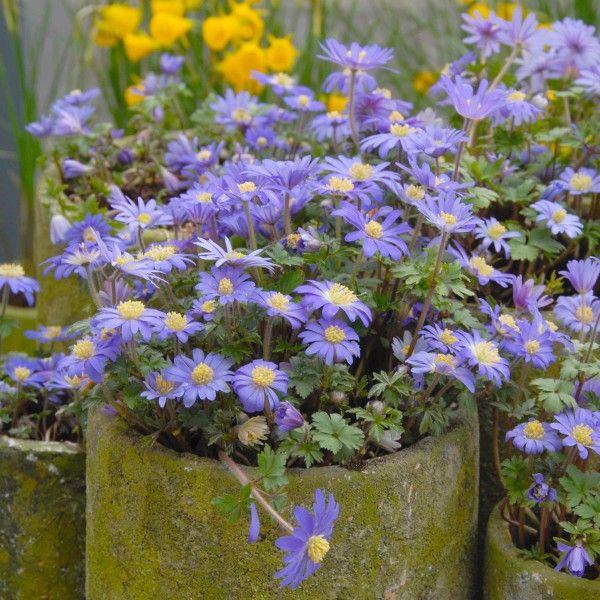 anemone blanda 39 blue shades 39 in t pfen die. Black Bedroom Furniture Sets. Home Design Ideas
