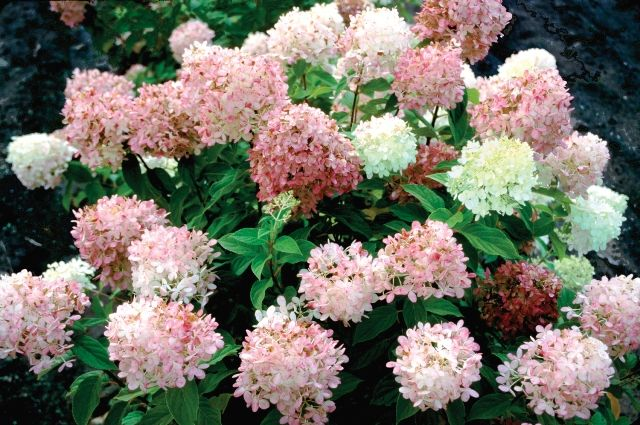 Shrubs That Burst Into Color For Fall Proven Winners Growing Hydrangeas Hydrangea Not Blooming Panicle Hydrangea