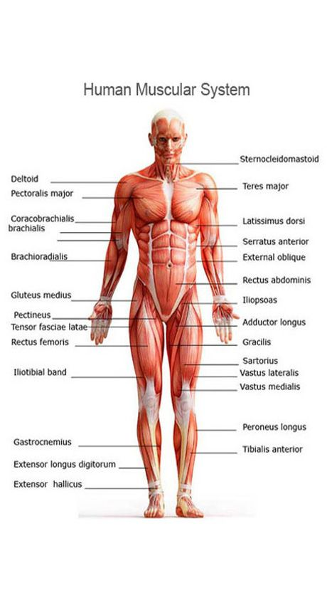 muscular system | anatomy | pinterest | muscular system, human, Muscles