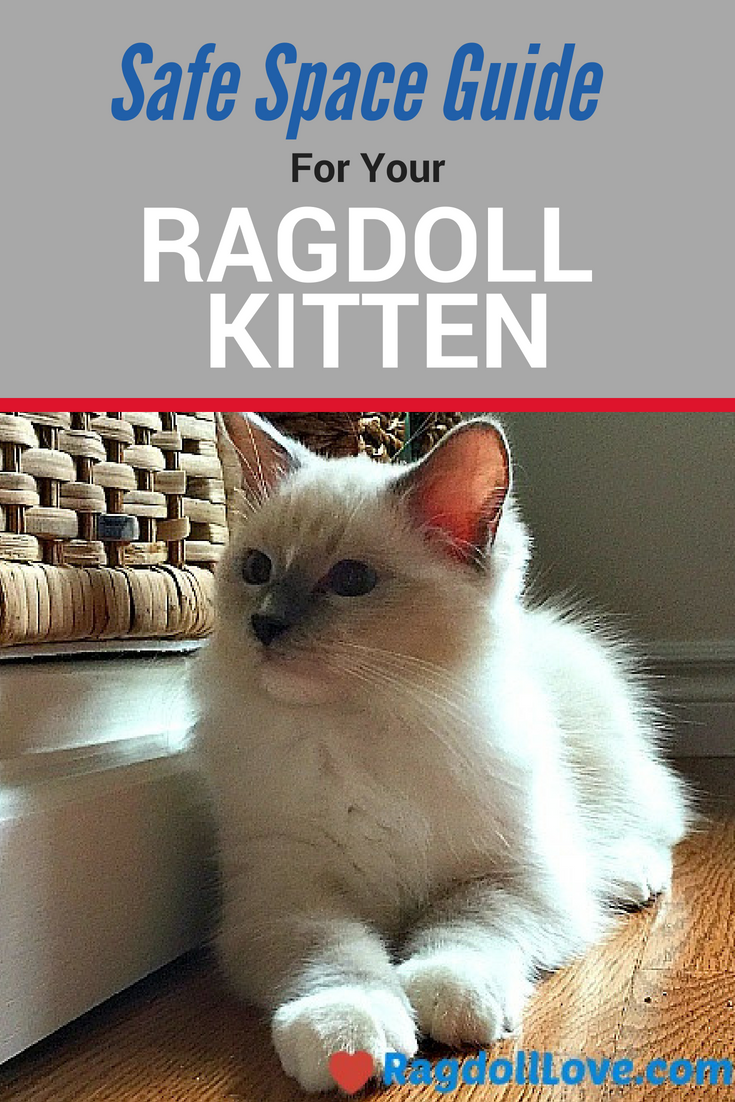 Guide To Creating A Safe Space For Your Ragdoll Kitten Ragdoll Kitten Ragdoll Kitten