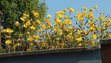 Topinambur Anbauen Im Garten Im Topf Topinambur Pflanzen Garten Topinambur