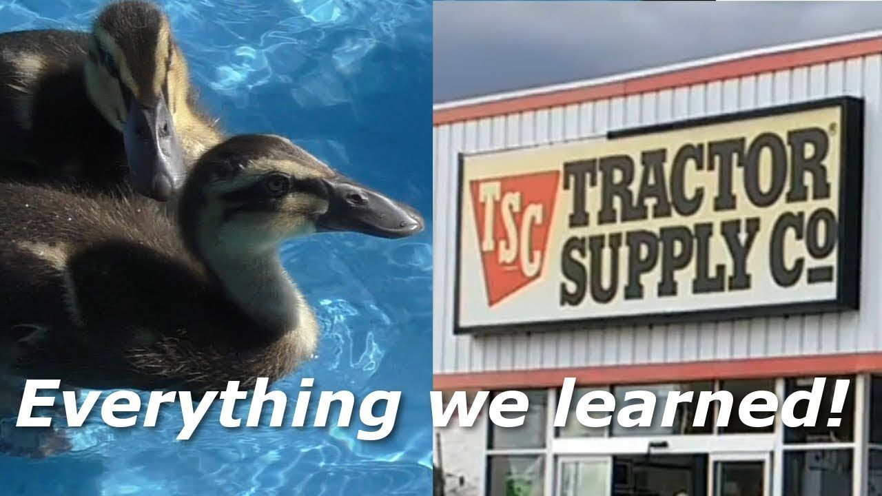 How To Raise Ducks From Tractor Supply In 2020 Raising Ducks Tractor Supplies Tractors
