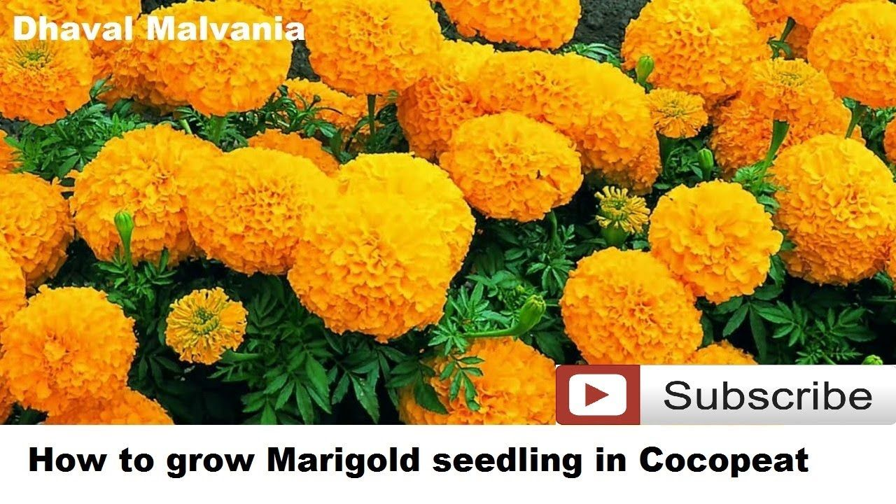 Pin by dhaval malvania on Gardening Growing marigolds