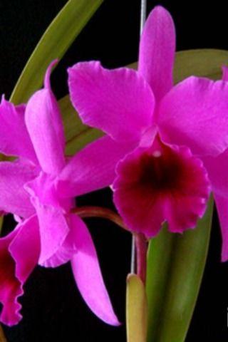 A orquídea ganhou fama de  ser frágil exatamente pela dificuldade em obter informações precisas sobre o cuidado de que necessita. #orquideas #flores #floreslindas #orquideomania #manualorquidea #florista #floricultura #orquidario