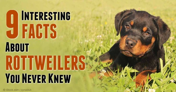 9 Interesting Facts About Rottweilers You Never Knew Rottweiler