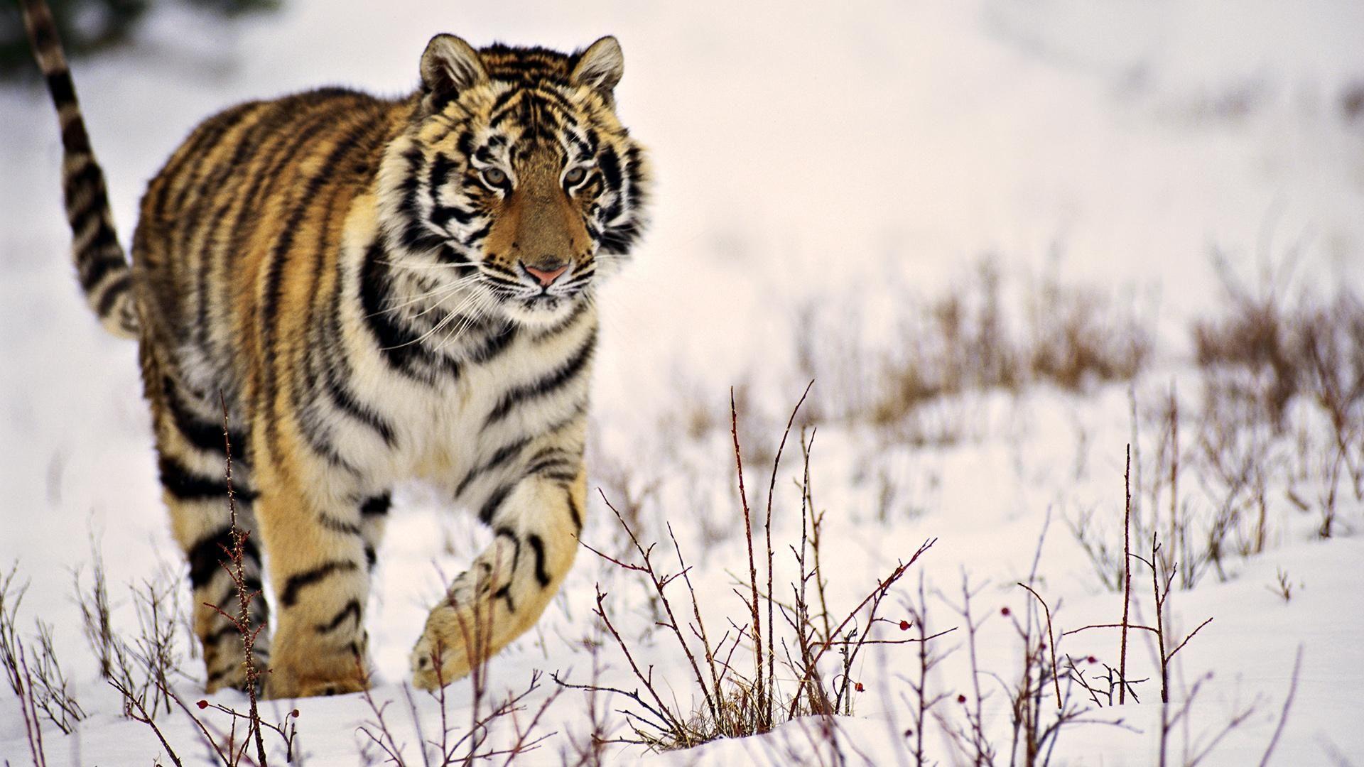 Wallpapers Tiger Wallpaper