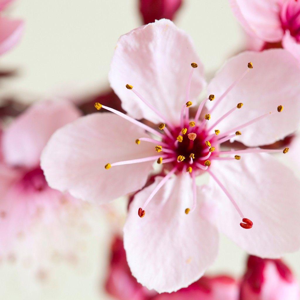 Pin By Potterhead Hufflepuff On Tattooing Cherry Blossom Fragrance Japanese Cherry Blossom Cherry Blossom Festival